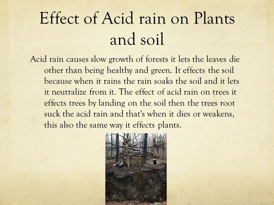 effects of rain Aside from aquatic bodies, acid deposition can significantly impact forests as acid rain falls on trees, it can make them lose their leaves, damage their bark, and stunt their growth by damaging these parts of the tree, it makes them vulnerable to disease, extreme weather, and insects.