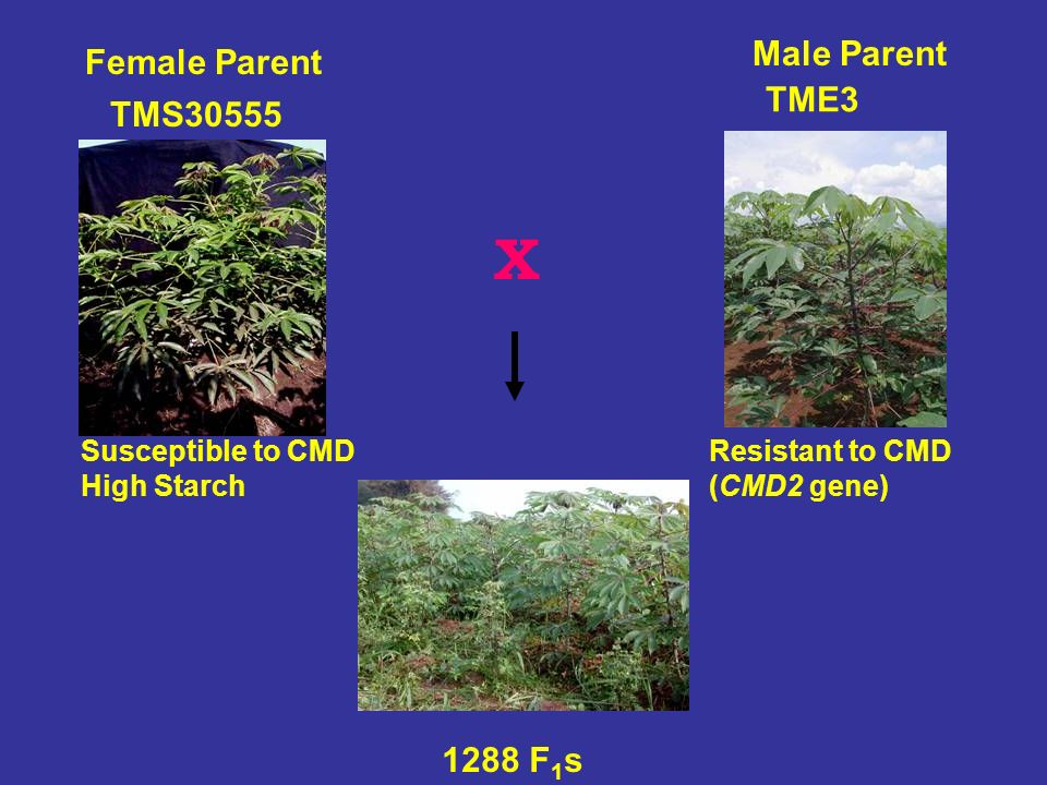X Male Parent Female Parent TME3 TMS30555 1288 F1s Susceptible to CMD