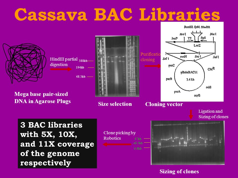 Cassava BAC Libraries Purification and. cloning. HindIII partial. digestion. 388kb. 194kb. 48.5kb.