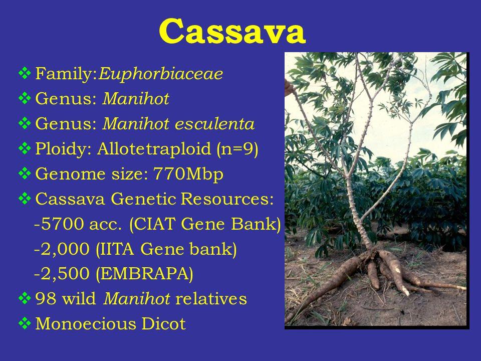 Cassava Family:Euphorbiaceae Genus: Manihot Genus: Manihot esculenta