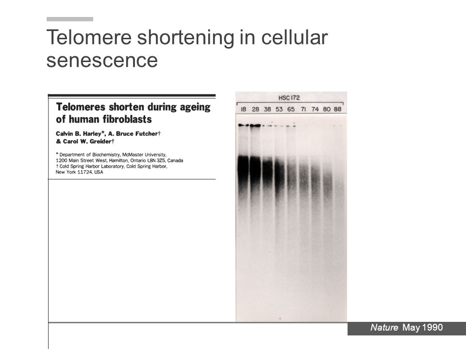 Telomere shortening in cellular senescence