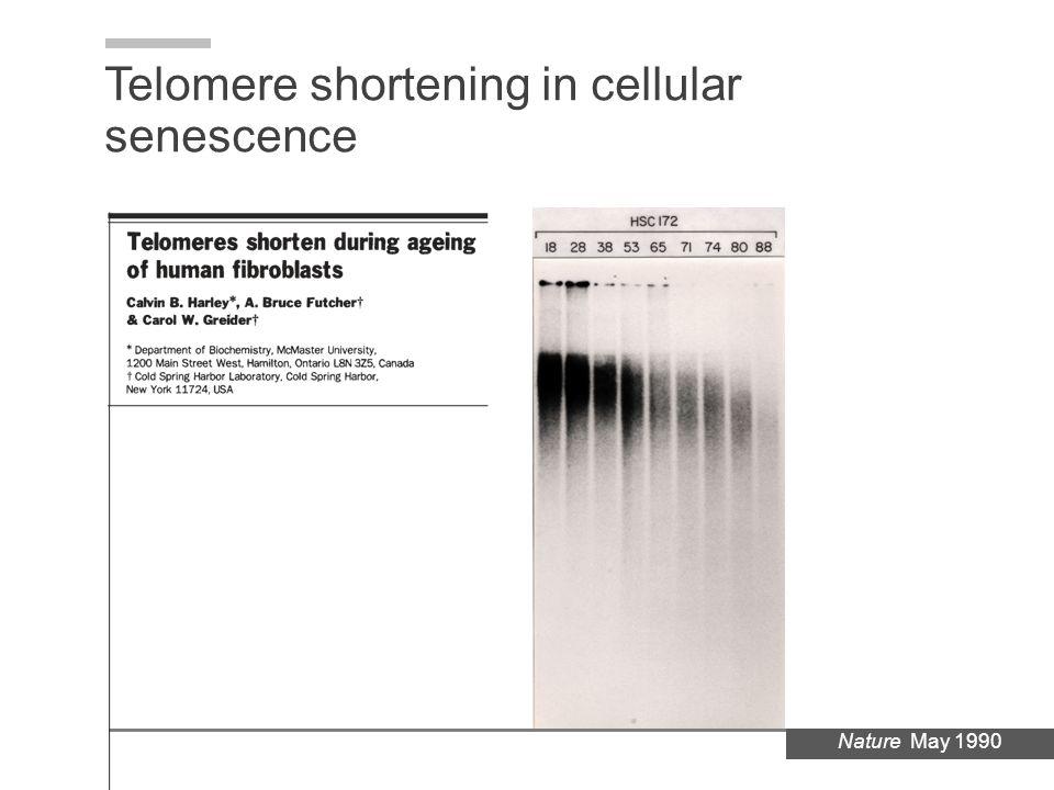 Telomere shortening in cellular senescence