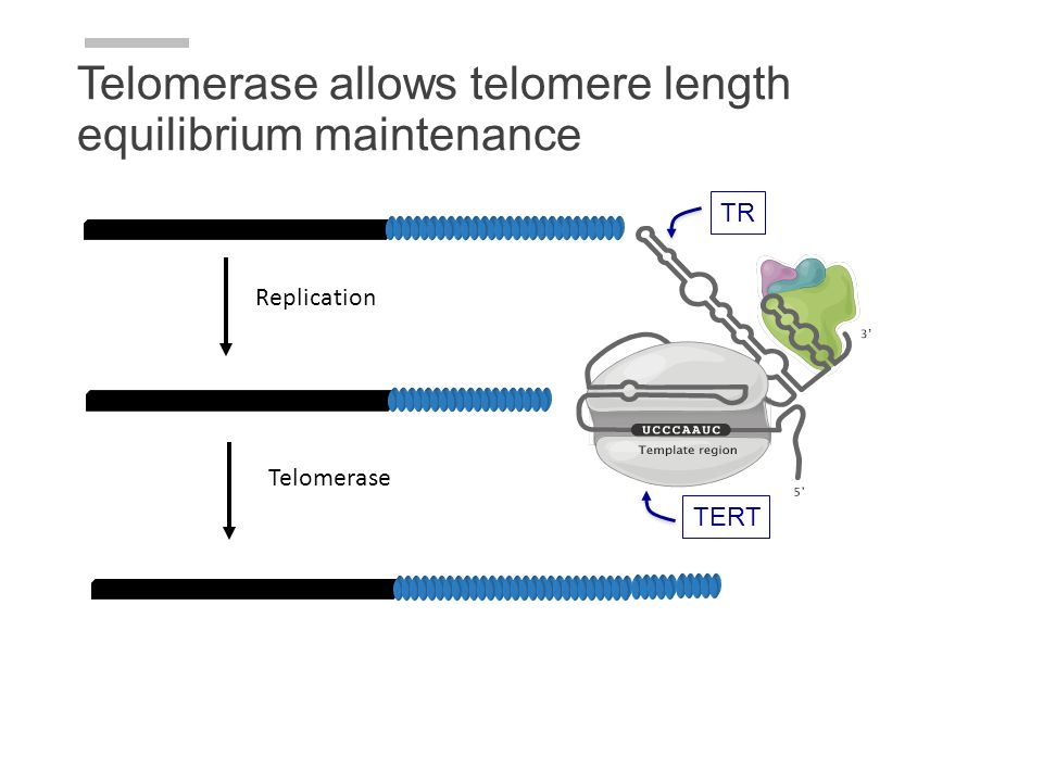 Telomerase allows telomere length equilibrium maintenance