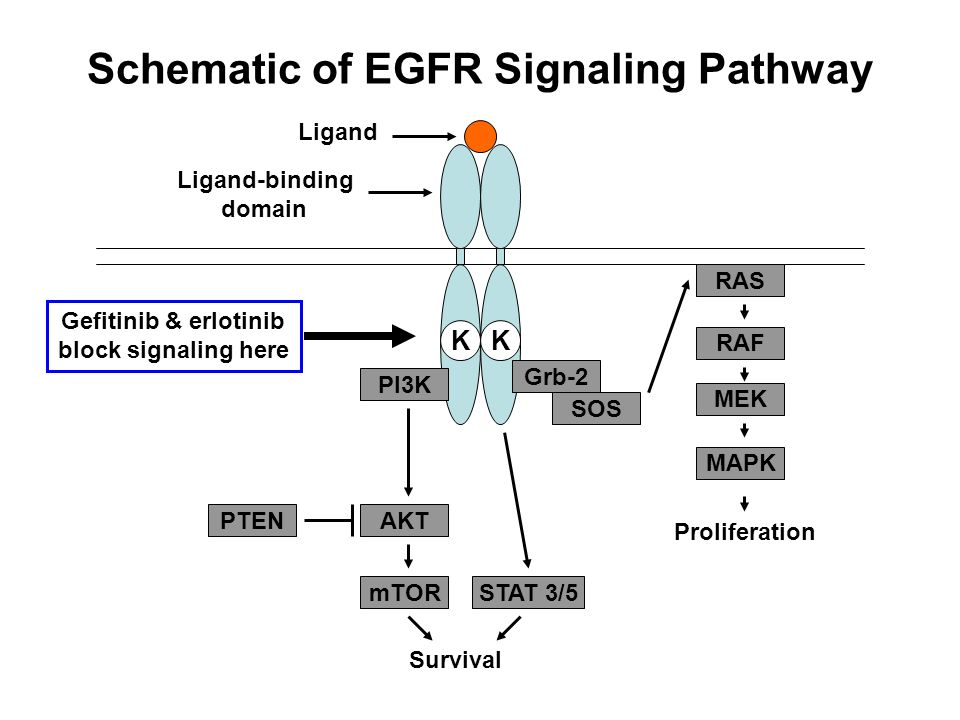 Schematic of EGFR Signaling Pathway