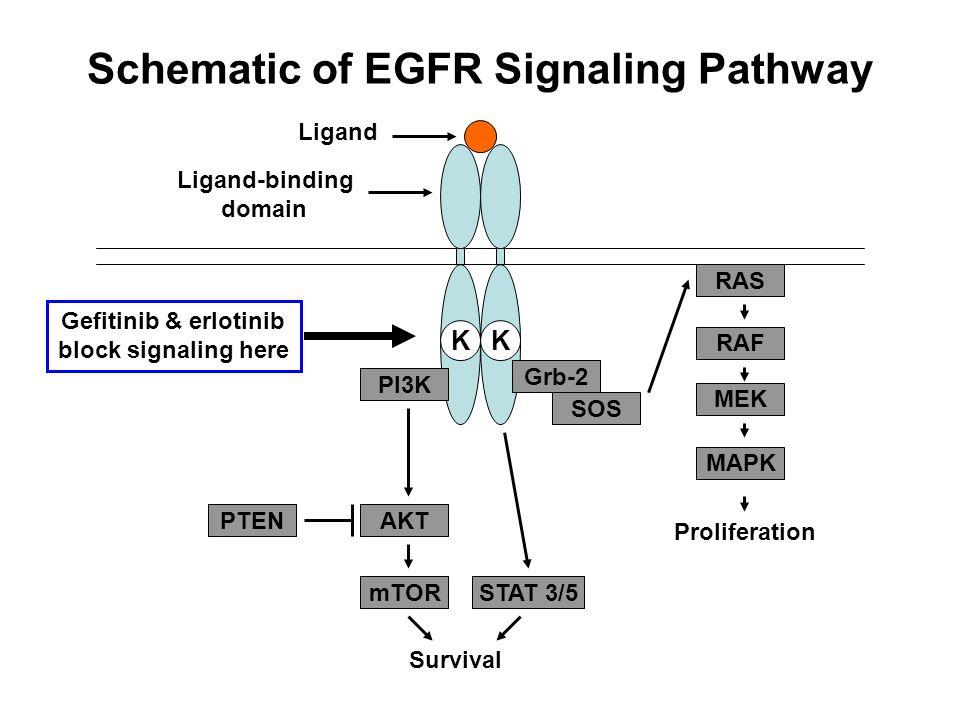 Schematic of EGFR Signaling Pathway