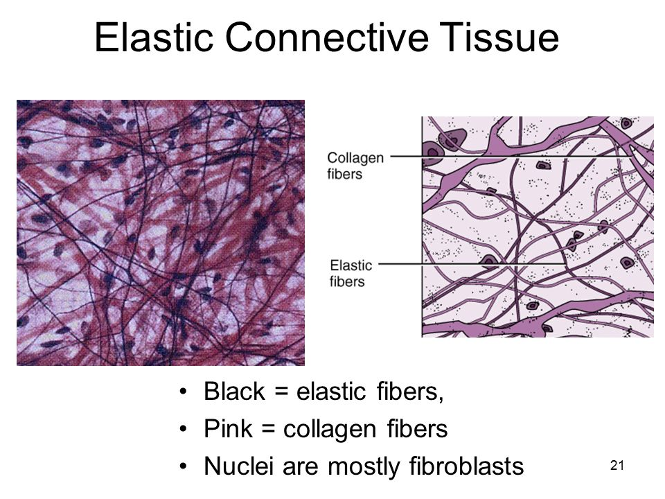 connective tissue diagram tissues. - ppt download