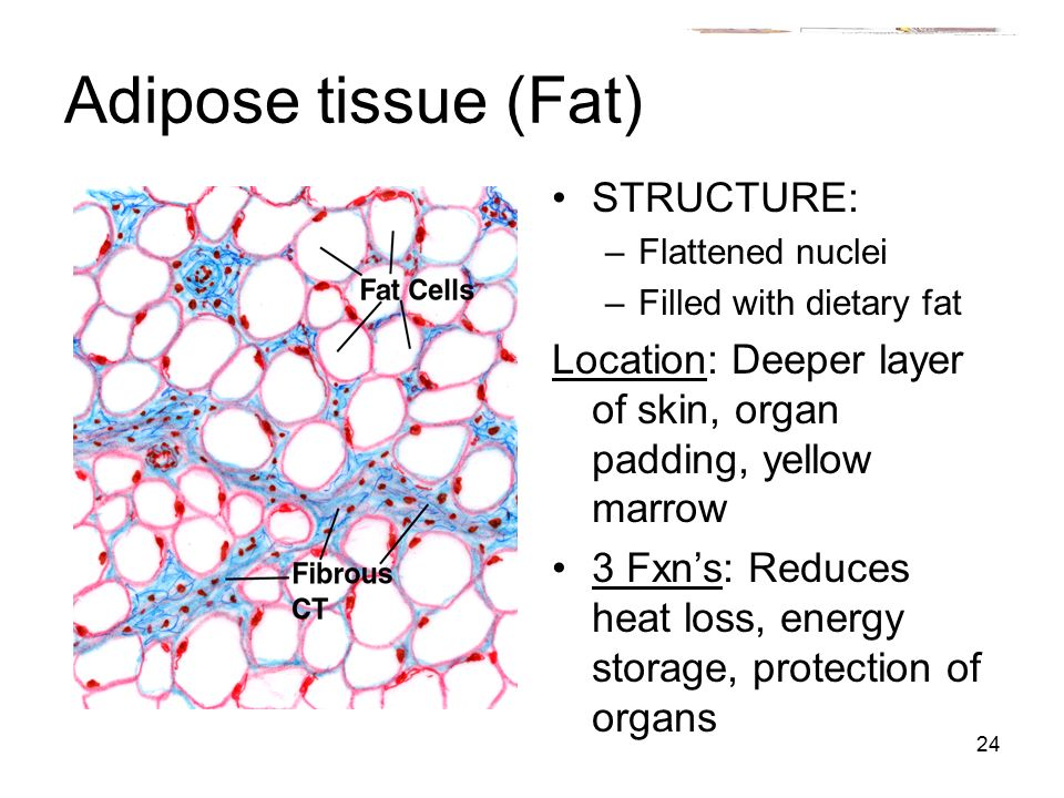 functions of the tissues The 4 basic tissue types in the human body wwwexploringnatureorg tissues are groups of cells with a common structure (form) and function (job).