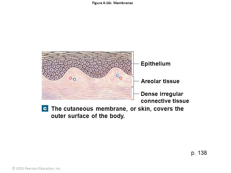 Showthread additionally Ch04 Ctissuemission in addition Ch 23lecturepresentation 39270745 additionally 4220333 together with Ch 23lecturepresentation 39270745. on body cavities and membranes pearson