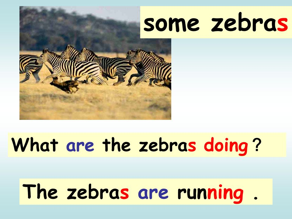 some zebras What are the zebras doing? The zebras are running .