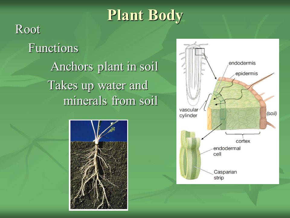 the functions of water and minerals The xylem vessel is specialised to transport water and dissolved minerals from the root up to all the other parts of the plant, and also to helps supporting the stem.