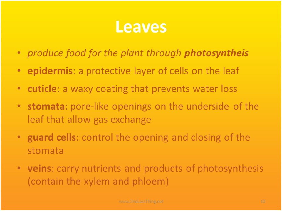 Leaves produce food for the plant through photosyntheis