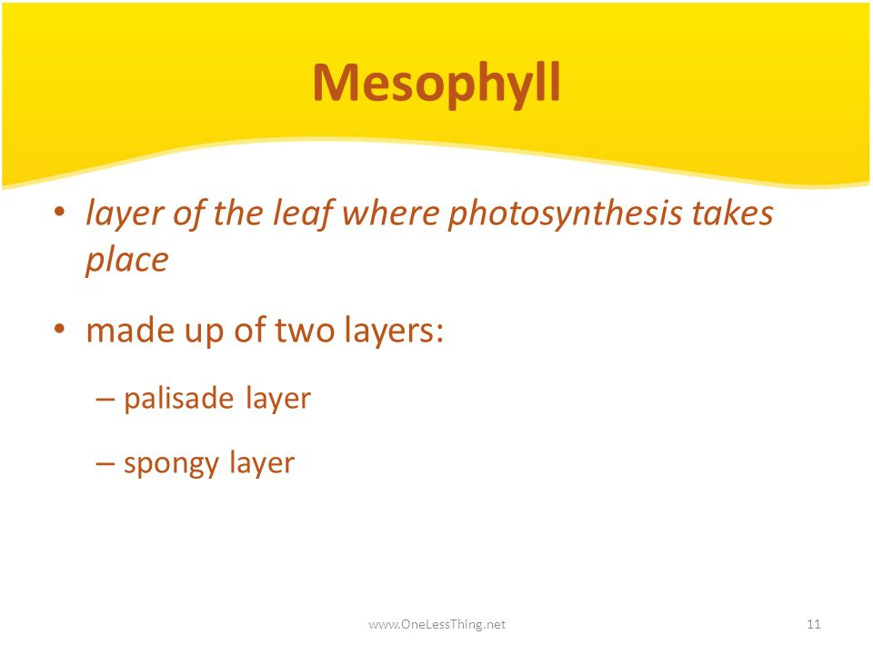 Mesophyll layer of the leaf where photosynthesis takes place