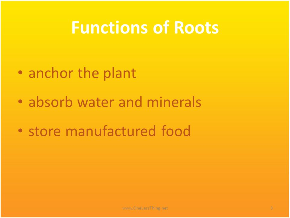 Functions of Roots anchor the plant absorb water and minerals