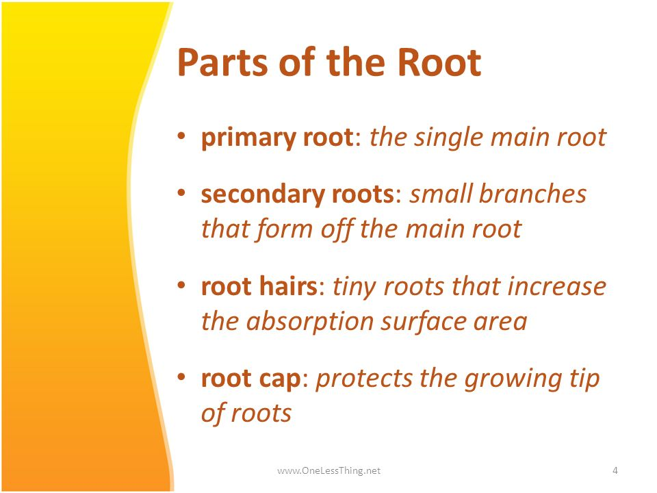 Parts of the Root primary root: the single main root