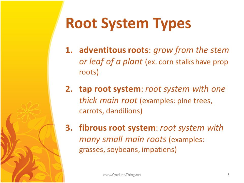 Root System Types adventitous roots: grow from the stem or leaf of a plant (ex. corn stalks have prop roots)