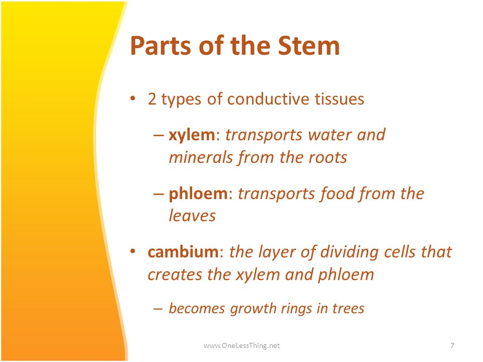 Parts of the Stem 2 types of conductive tissues