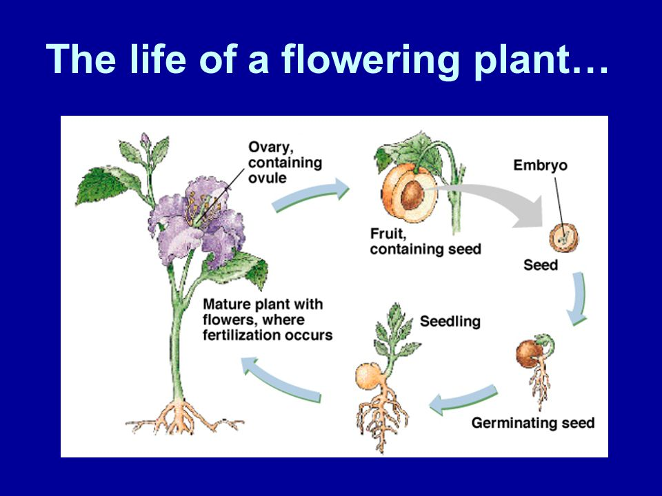 The life of a flowering plant…