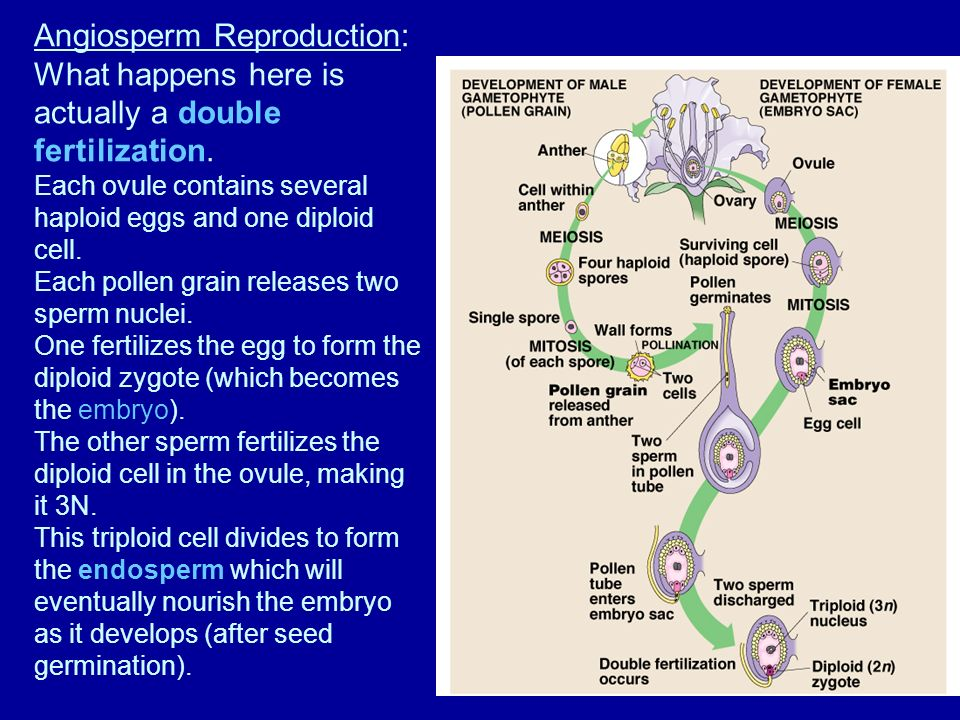 Angiosperm Reproduction: What happens here is actually a double fertilization.