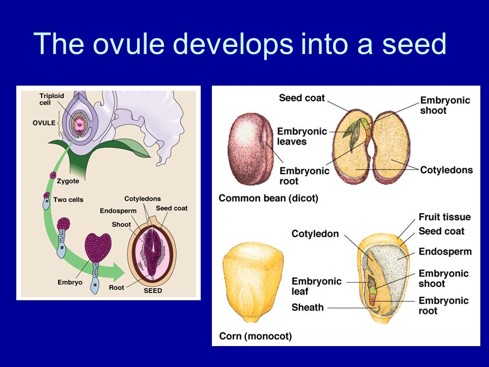 The ovule develops into a seed