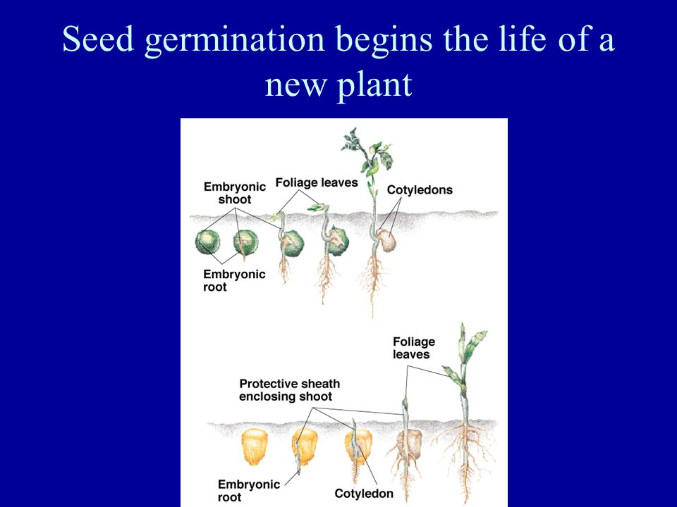 Seed germination begins the life of a new plant