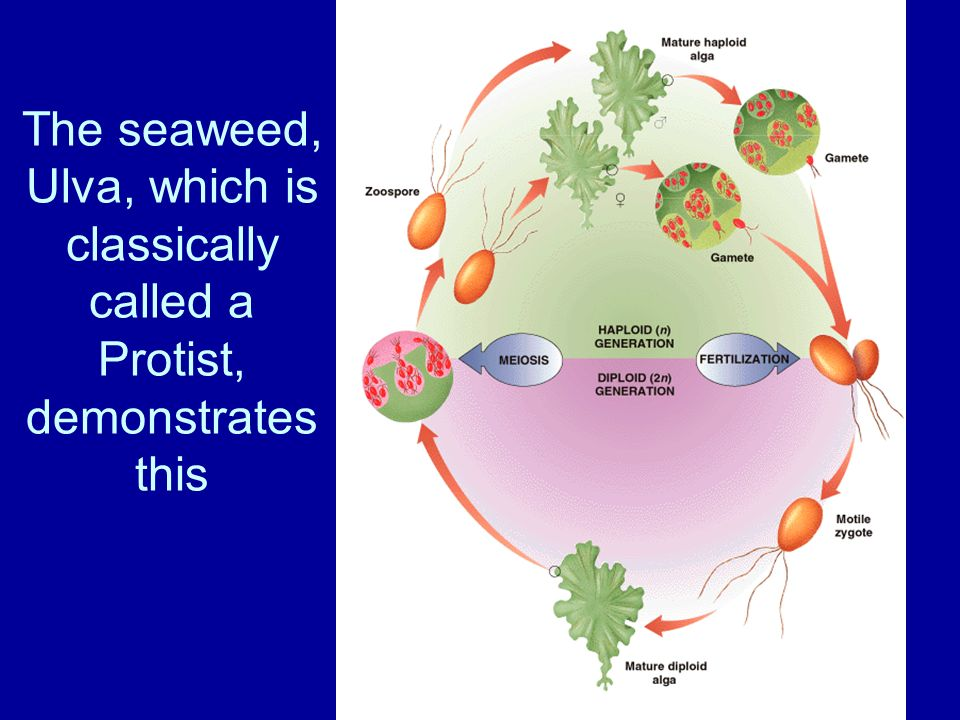 The seaweed, Ulva, which is classically called a Protist, demonstrates this