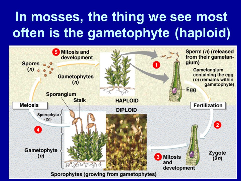 In mosses, the thing we see most often is the gametophyte (haploid)