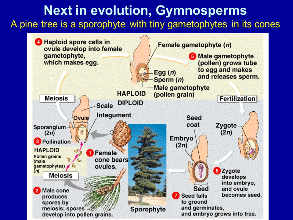 Next in evolution, Gymnosperms A pine tree is a sporophyte with tiny gametophytes in its cones