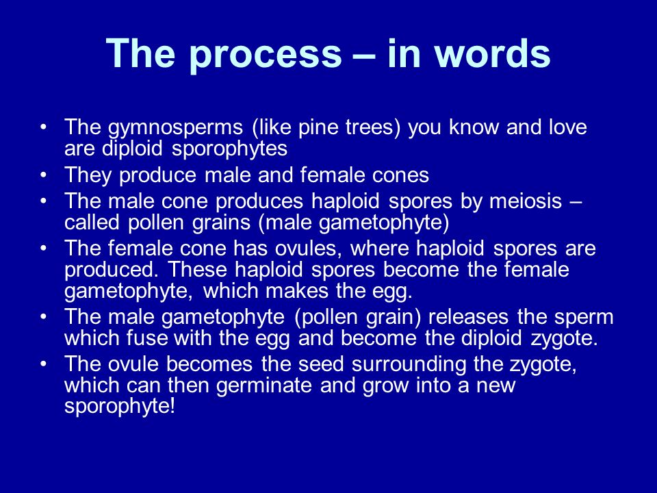 The process – in words The gymnosperms (like pine trees) you know and love are diploid sporophytes.