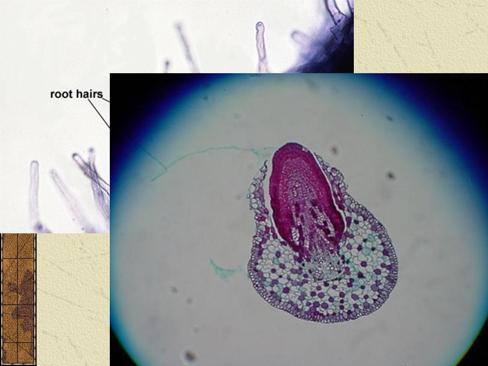Secondary Growth Root hairs Lateral roots