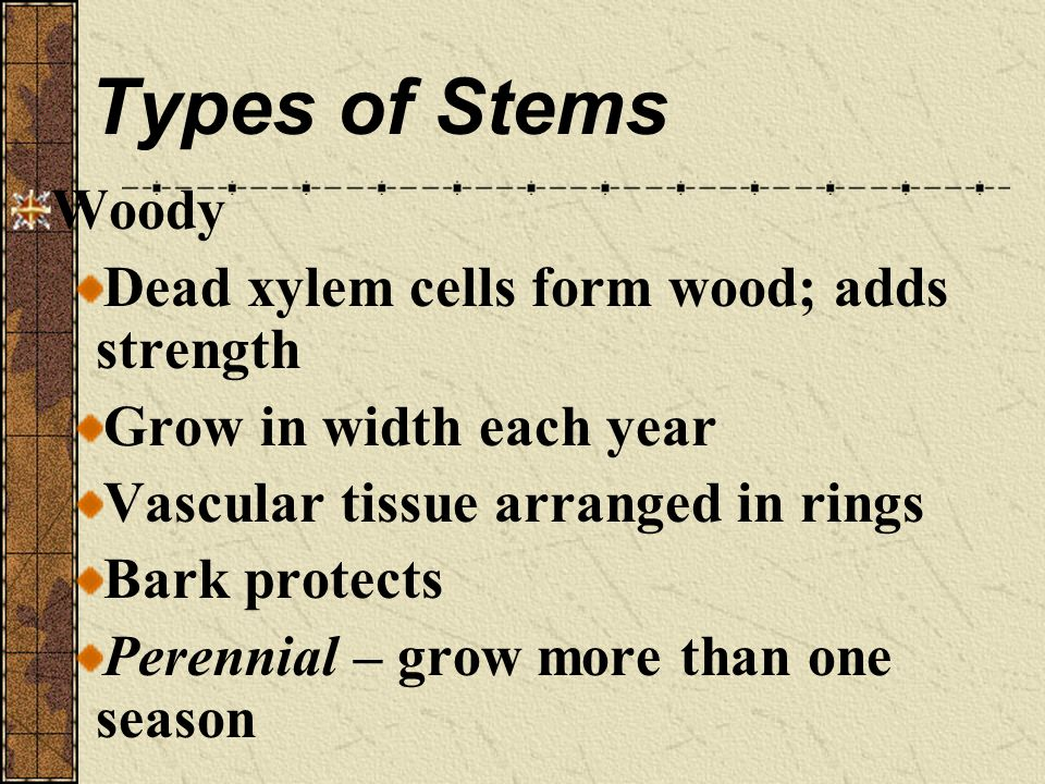 Types of Stems Woody Dead xylem cells form wood; adds strength