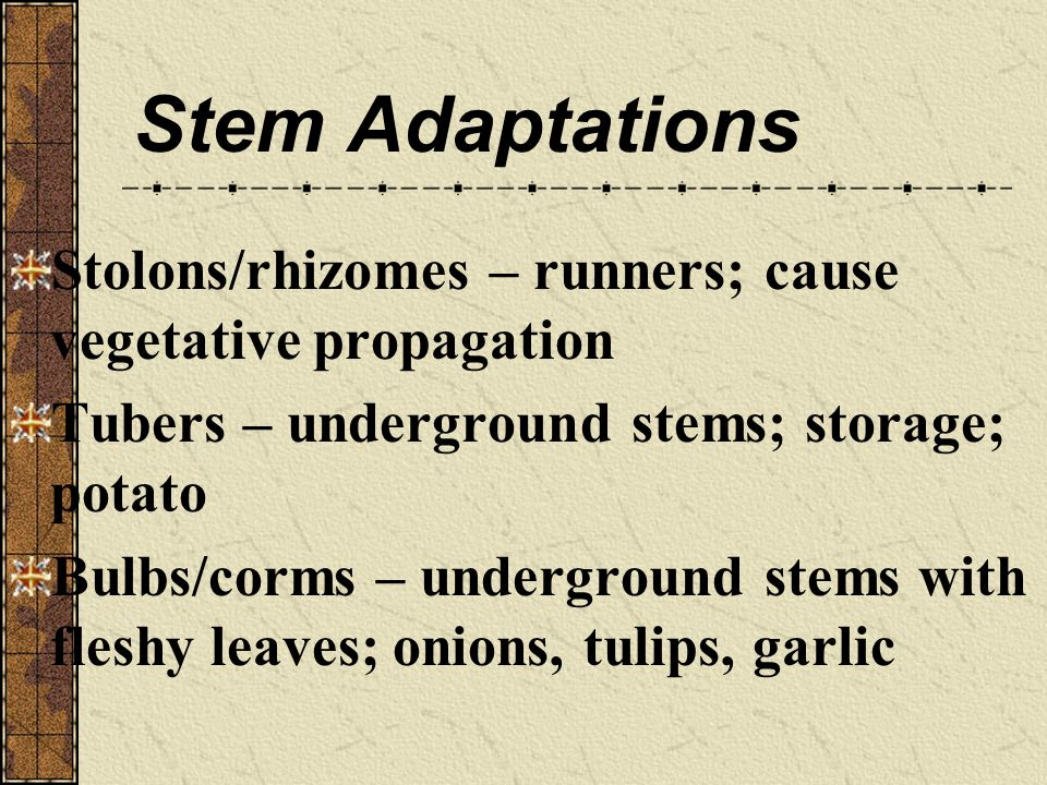 Stem Adaptations Stolons/rhizomes – runners; cause vegetative propagation. Tubers – underground stems; storage; potato.