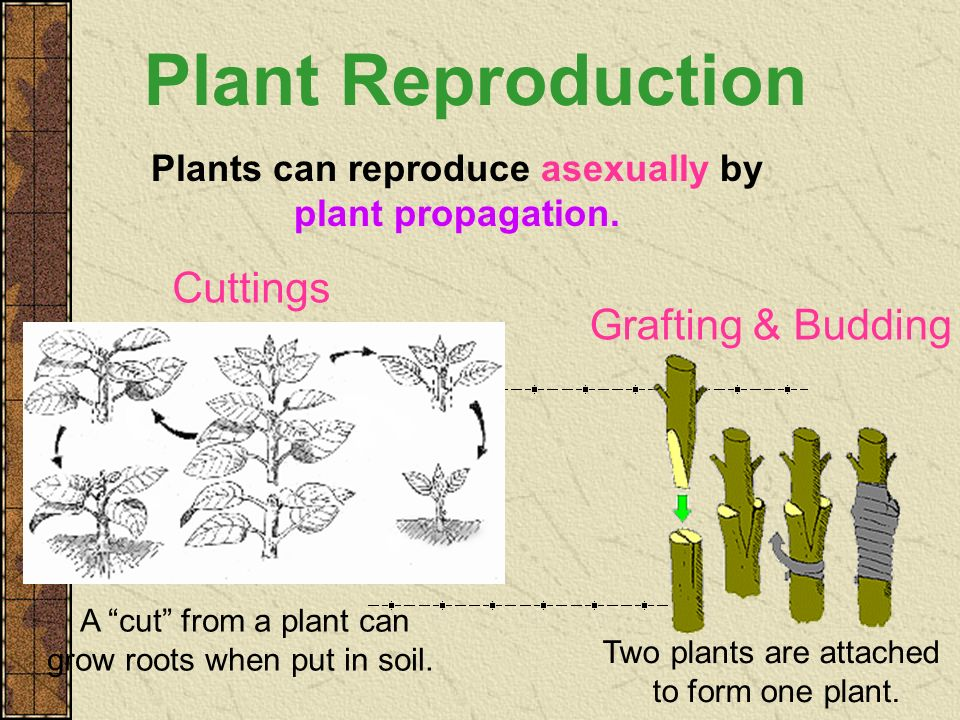 Plants can reproduce asexually by