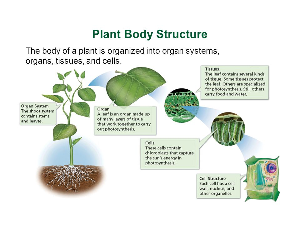 the plant body Organization of the plant body • overview of plants • organs • tissues • plant cell.