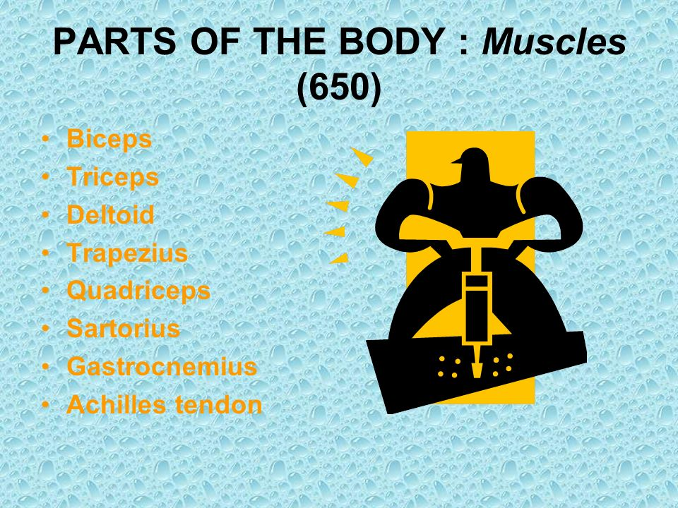 PARTS OF THE BODY : Muscles (650)
