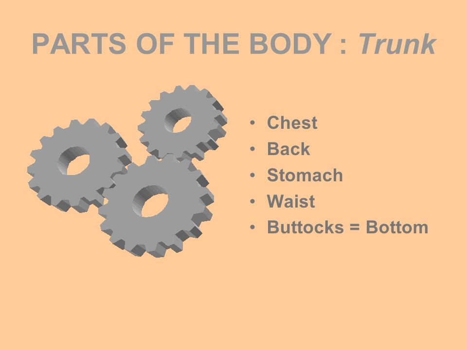 PARTS OF THE BODY : Trunk