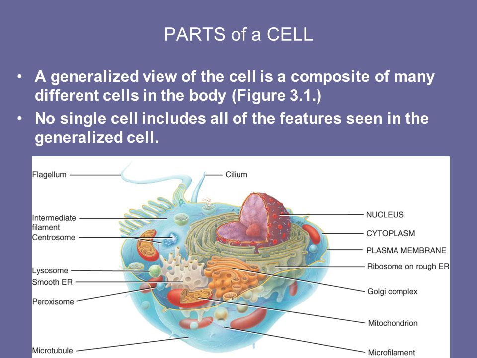 Chapter 3 The Cellular Level of Organization Lecture Outline. - ppt ...