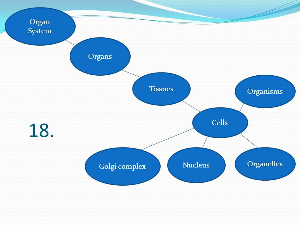 18. Organ System Organs Tissues Organisms Cells Organelles