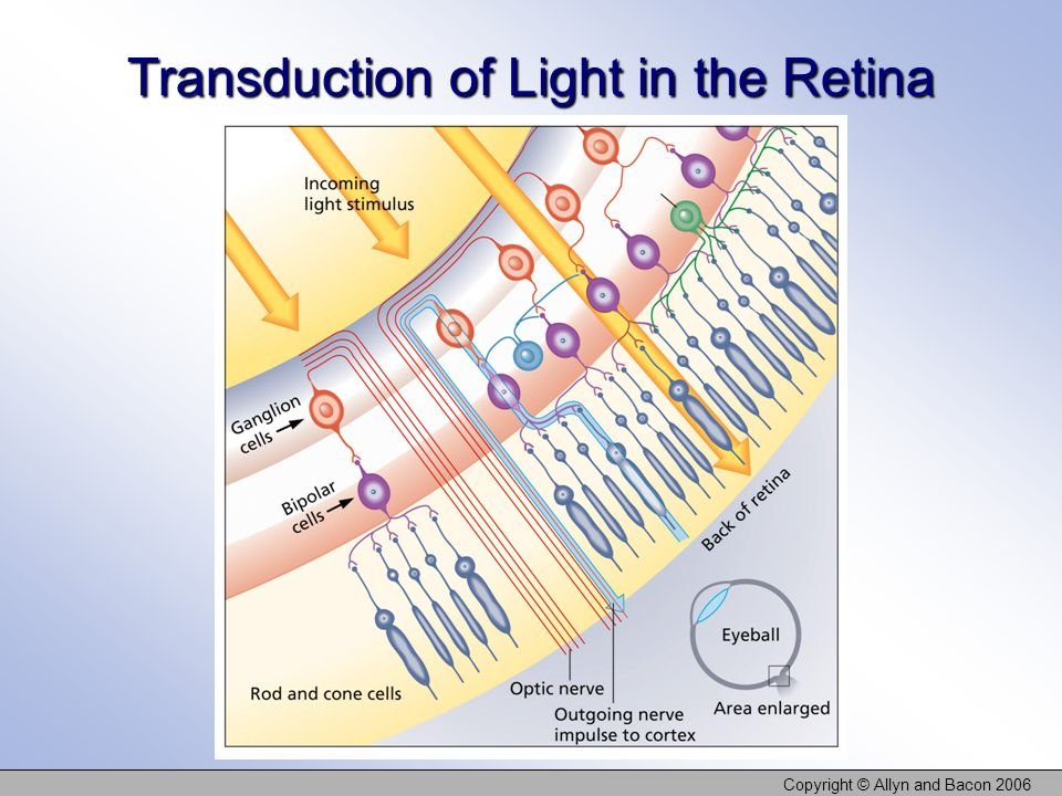 Transduction of Light in the Retina