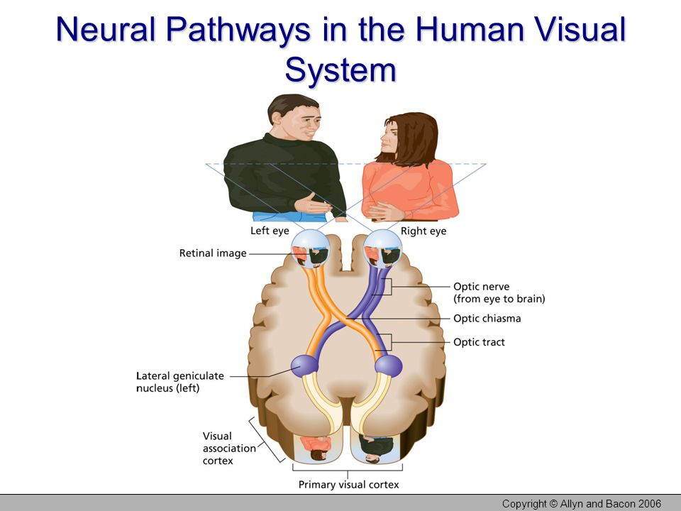 Neural Pathways in the Human Visual System