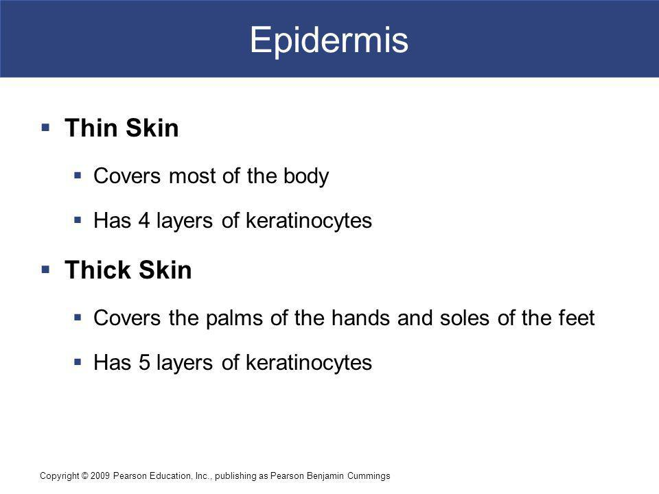 Epidermis Thin Skin Thick Skin Covers most of the body