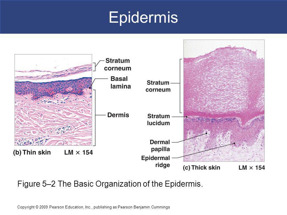 Epidermis Figure 5–2 The Basic Organization of the Epidermis.