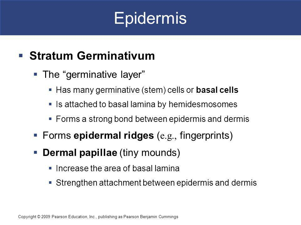 Epidermis Stratum Germinativum The germinative layer