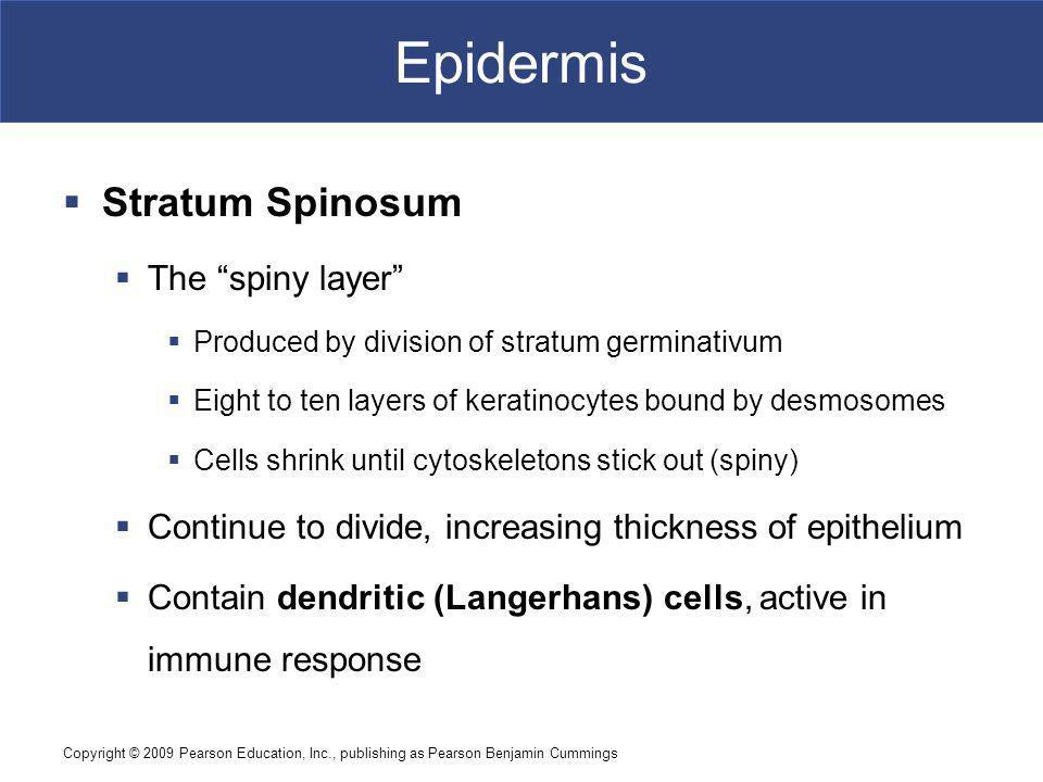 Epidermis Stratum Spinosum The spiny layer