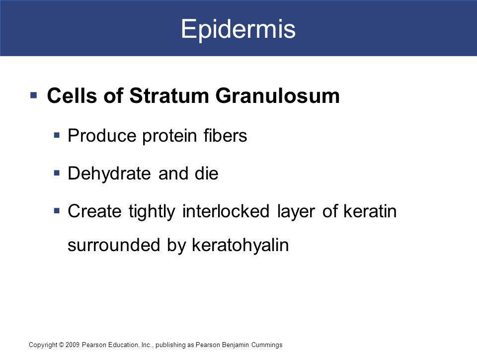Epidermis Cells of Stratum Granulosum Produce protein fibers