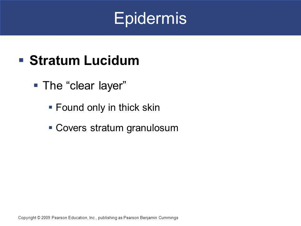 Epidermis Stratum Lucidum The clear layer Found only in thick skin