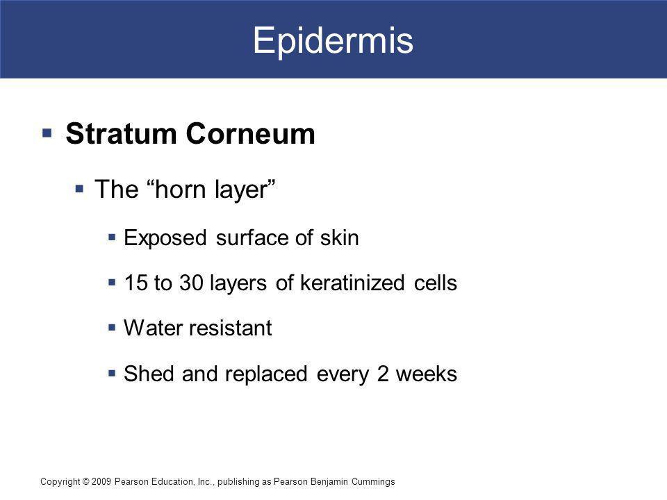 Epidermis Stratum Corneum The horn layer Exposed surface of skin