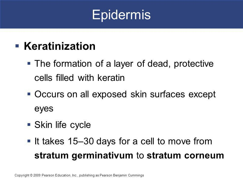 Epidermis Keratinization