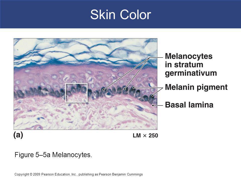 Skin Color Figure 5–5a Melanocytes.