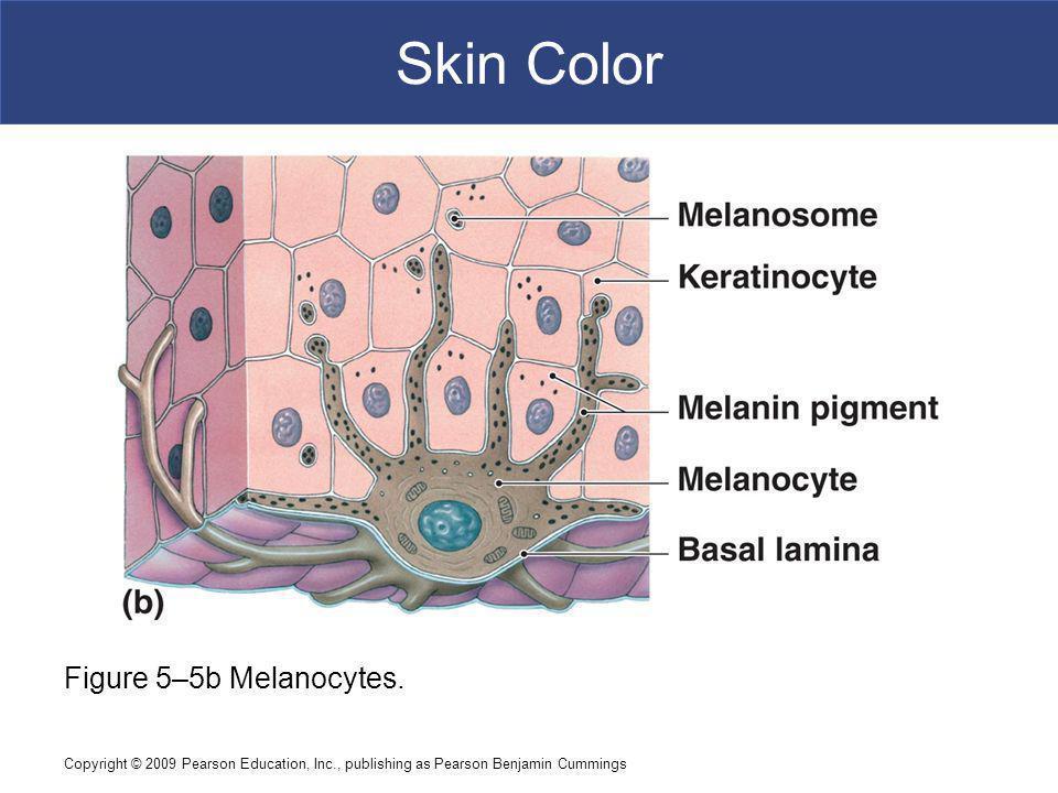 Skin Color Figure 5–5b Melanocytes.