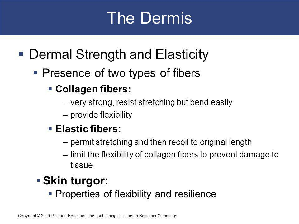 The Dermis Dermal Strength and Elasticity